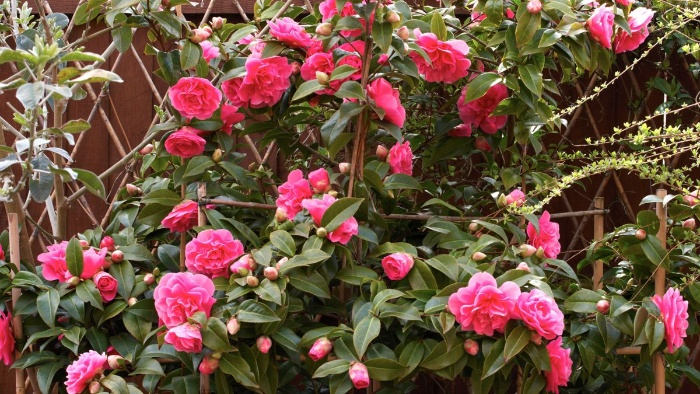pink camelia shrub with large pink flowers