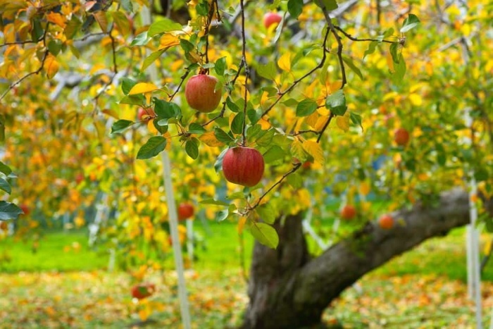 Apple tree in the fall with colorful leaves and red apples