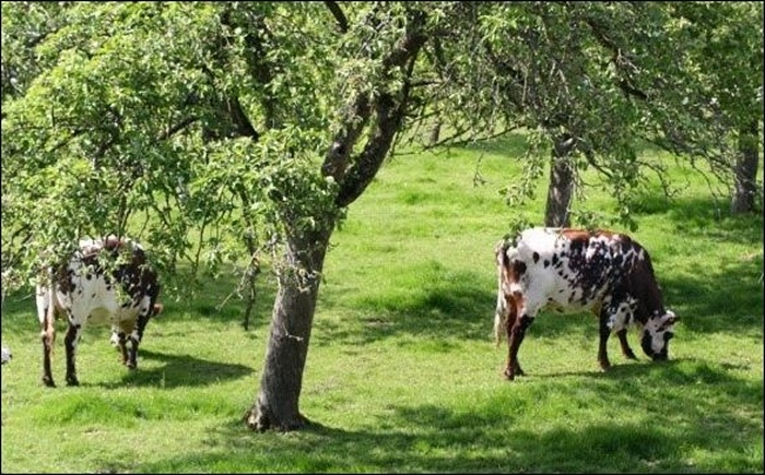family orchard with green lawn and two cows grazing