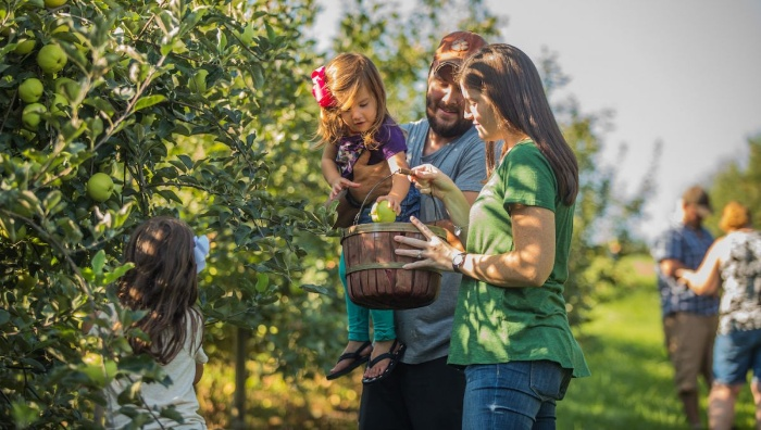 family picking apples in a large orchard with apple trees
