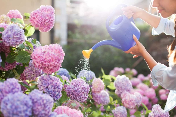 woman watering bushes with pink and purple blossoming flowers
