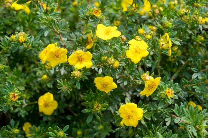 potentilla shrub with yellow flowers and green leaves