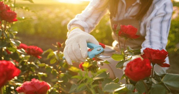 woman trimming red roses at sunset with large scissors