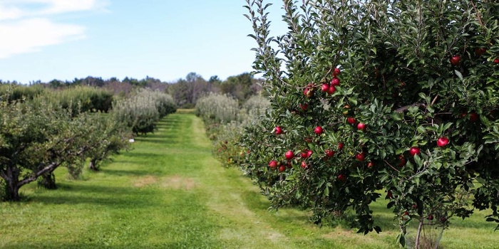 wide green pathway of apple trees in an orchard