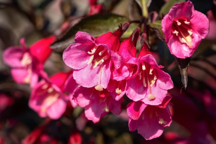 pink weigela flower with a bunch of pretty blossoms
