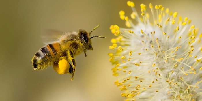 a bee gathering pollen from a yellow plant with bright yellow buds