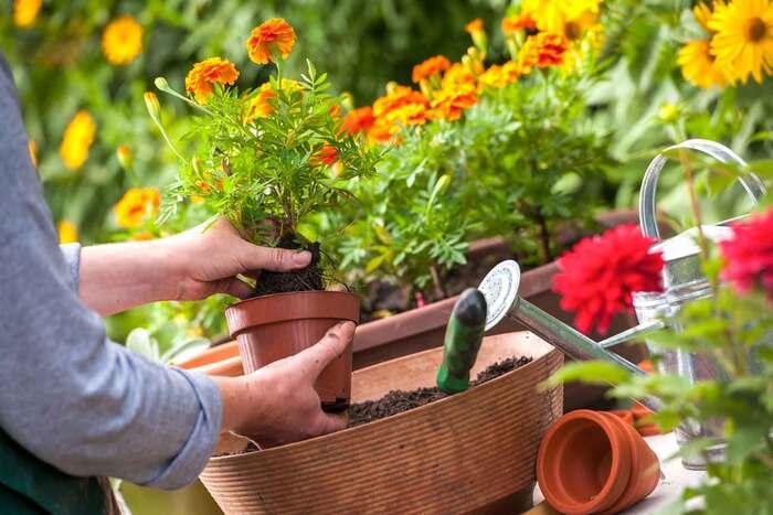gardening woman planting flowers in her garden