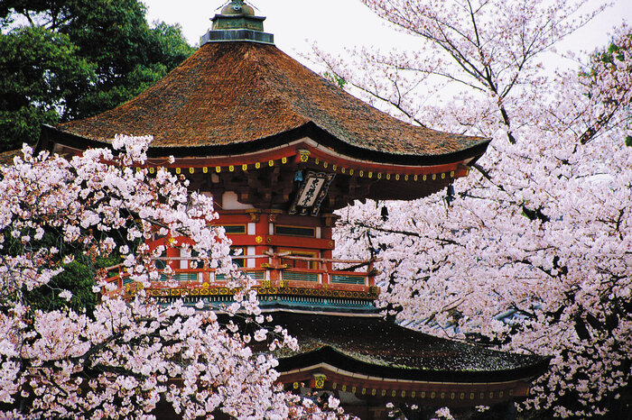kyoto japan temple roof surrounded by blossoming cherry trees
