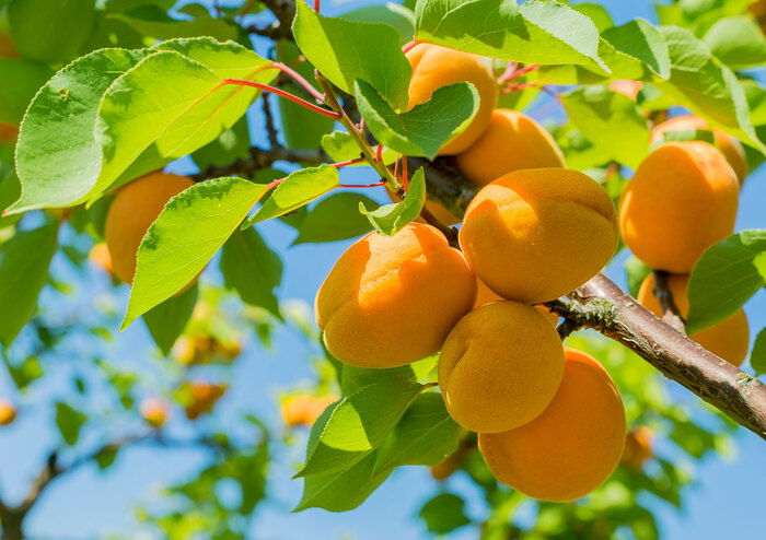 seasonal fruits apricots on a branch with green leaves blue sky in the background