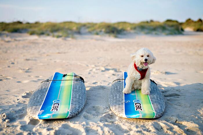 dog on a surf board on the beach with two surf boards lying on it