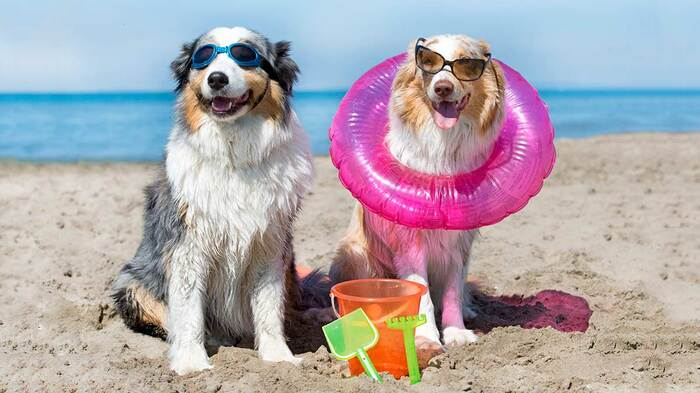 dogs on the beach two dogs with beach accessories googles and sunglasses posing for a photo on the beach