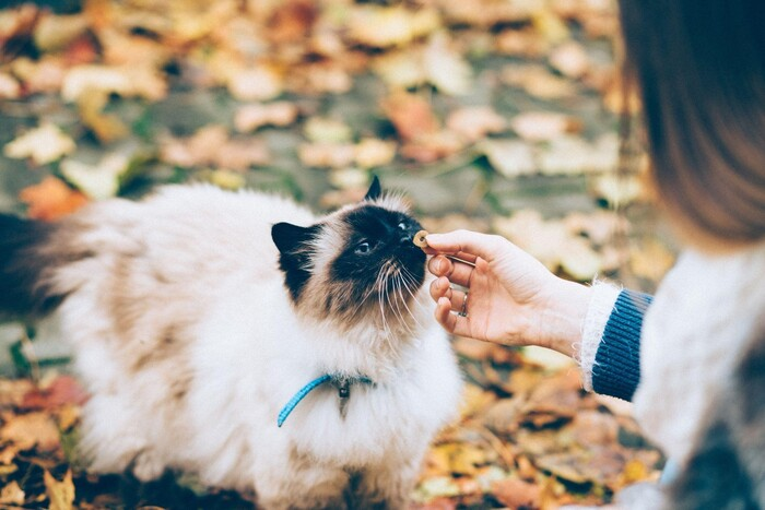 pet travel long hair cat outside with a blue leash sniffing a piece of cat food given by a girl