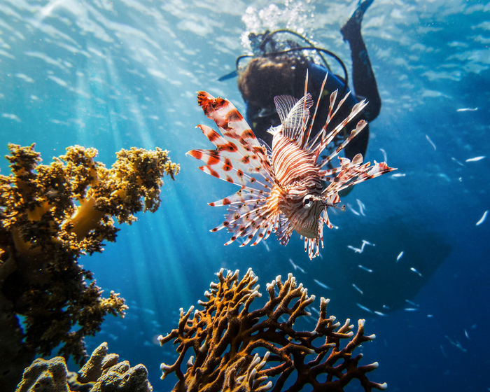 red sea diving large colorful tropical fish with corals sticking from the bottom and a scuba diver in the background