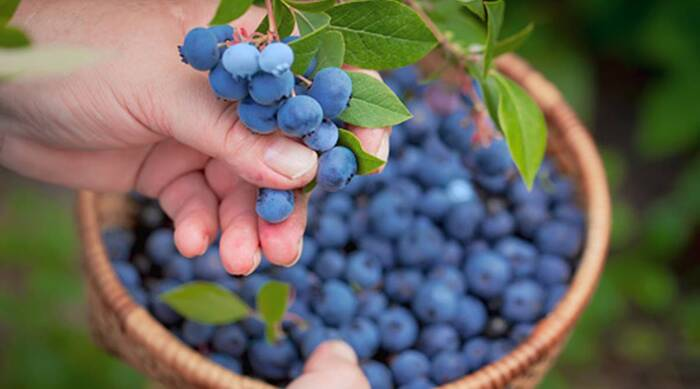 picking blueberries hand holding a basket and picking large blueberries