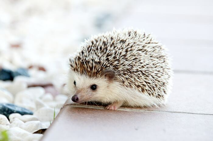 animals and seasons hedgehog on a tiles outside looking at the camera