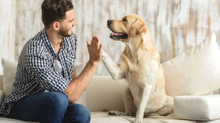man in jeans with a blue and white shirt sitting on a white couch giving a high five to a light golden retriever