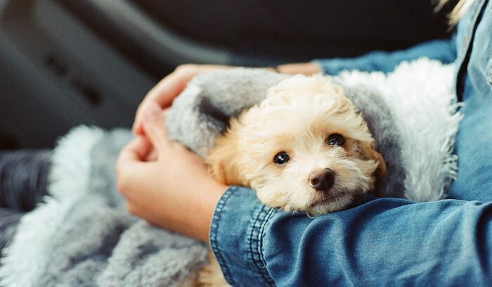 girl in a denim shirt sitting in a car holding a small yellow puppy in a blanket on her lap