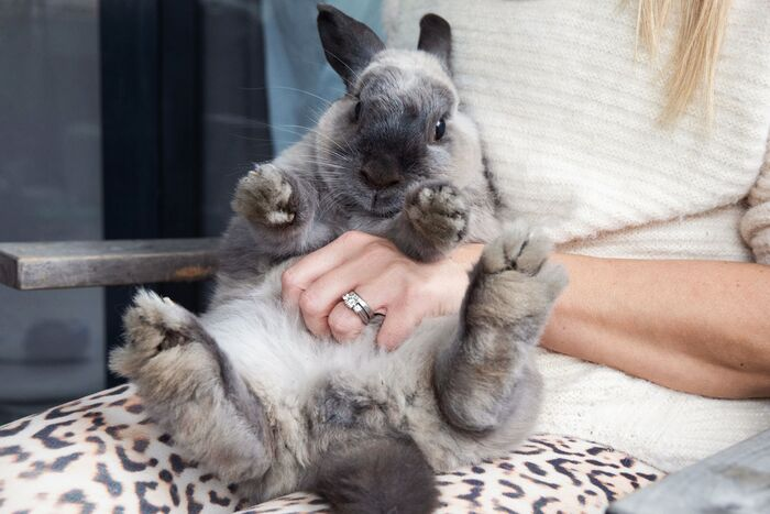 woman holding a large grey rabbit in her lap petting its tummy