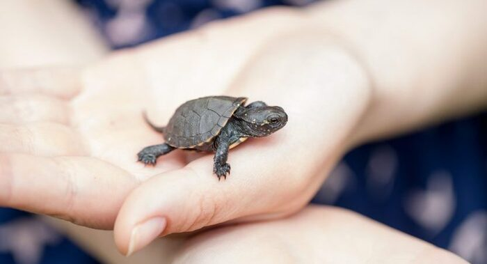 mini turtle in a palm of a hand crawling and looking out
