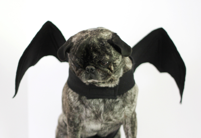 a grey dog with a halloween black bat costume on a white background