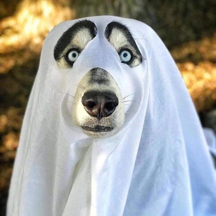 dog ghost husky dog with bright blue eyes with a white cloth on it dressed as a ghost