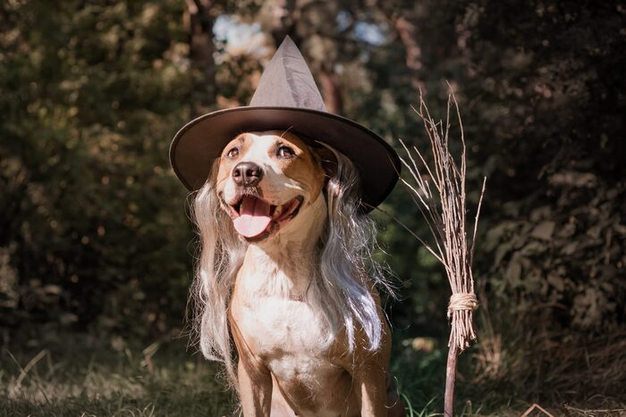 dog halloween costumes dog posing outdoors dressed as a witch with a sharp hat and a broom