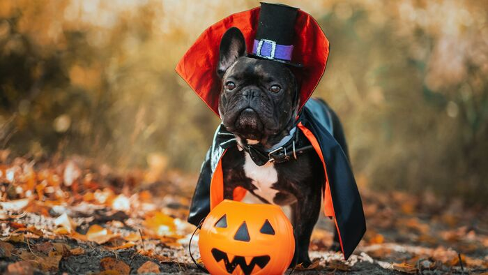 little black french bulldog in a halloween costume with a hat and a pumpkin lantern in the park