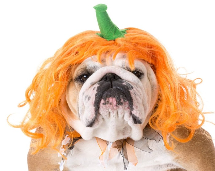 pumpkin pets dog with a pumpkin wig looking into the camera